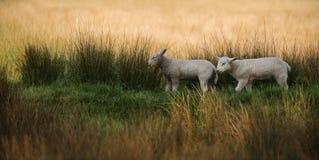 Dos corderos que caminan en hierba alta Foto de archivo