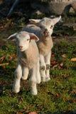 Dos corderos recién nacidos Imagen de archivo