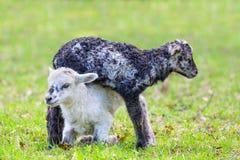 Dos corderos recién nacidos juegan juntos en prado verde imagenes de archivo