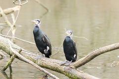 Dos cormoranes en una rama de un río Foto de archivo