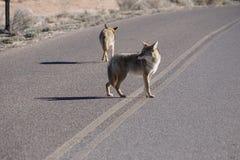 Dos coyotes que vagan abajo de un camino Fotos de archivo libres de regalías