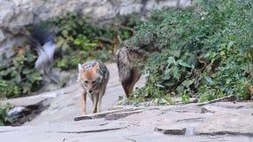 Dos coyotes y un cuervo
