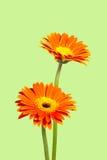 Dos crisantemos Imagen de archivo libre de regalías