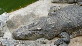 Dos crocodilos mentira preguiçosamente no captiveiro Exploração agrícola do crocodilo em Pattaya, Tailândia filme