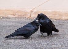Dos cuervos Imágenes de archivo libres de regalías