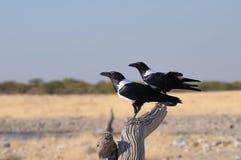 Dos cuervos de varios colores (albus del Corvus) Imagen de archivo libre de regalías