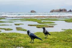 Dos cuervos en los corales Fotos de archivo libres de regalías