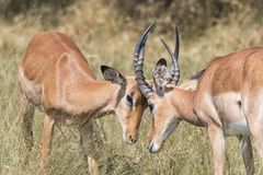 Dos dólares del impala que luchan imagenes de archivo