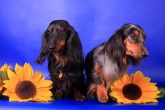 Dos dachshunds de pelo largo Fotografía de archivo libre de regalías
