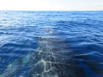 Dos de baleine de bosse photographie stock libre de droits