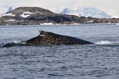 Dos de baleine de bosse dans les taches de blanc dans l'ANTARCTIQUE Photographie stock libre de droits