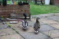 Dos de canard se déplaçant tout en marchant image stock