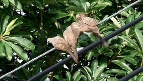 Dos de la cebra de tres bebés se zambulleron pidiendo la comida de su pájaro del padre almacen de video