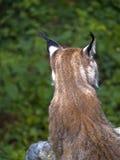 Dos de lynx Photographie stock