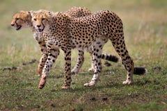 Dos de tres hermanos del guepardo que recorren, Masai Mara Imágenes de archivo libres de regalías
