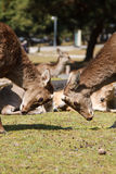 Dos deers sin la cornamenta Imagen de archivo libre de regalías