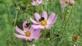 Dos del abejorro en las flores púrpuras en un fondo verde Imagen de archivo
