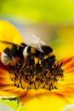 Dos del abejorro en una flor de un girasol Fotos de archivo