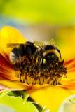 Dos del abejorro en una flor de un girasol Imagenes de archivo