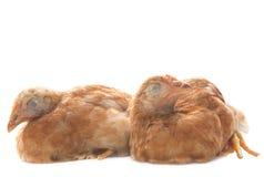 Dos del pollo de la gallina de los huevos asleeping en el uso blanco del fondo para el fu Fotos de archivo