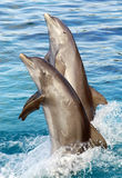 Dos delfínes Fotografía de archivo