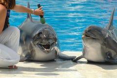 Dos delfínes del canto Fotografía de archivo