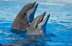 Dos delfínes en el agua Foto de archivo libre de regalías