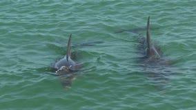 Dos delfínes en el mono Mia Shark Bay National Park metrajes