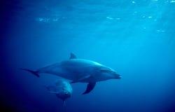 Dos delfínes en el océano Foto de archivo libre de regalías