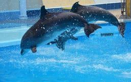 Dos delfínes grises saltan del agua con mucho salpican de la piscina Fotografía de archivo