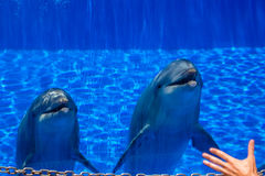 Dos delfínes lindos curiosos Imágenes de archivo libres de regalías