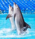 Dos delfínes que bailan en la piscina Imagenes de archivo