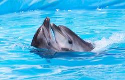Dos delfínes que bailan en la piscina imágenes de archivo libres de regalías