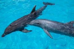 Dos delfínes que nadan en el agua azul Foto de archivo