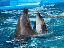 Dos delfínes que nadan y que bailan en agua azul fotos de archivo