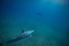 Dos delfínes subacuáticos en azul fotografía de archivo