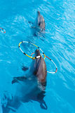 Dos delfínes en la piscina que juega con los anillos Fotografía de archivo libre de regalías