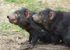 Dos diablos tasmanos que se sientan junto Imágenes de archivo libres de regalías