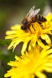 Dos diente de león y abeja amarillos en una flor. cierre para arriba Imagen de archivo
