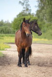 Dos dirigieron el caballo marrón y negro Imagen de archivo