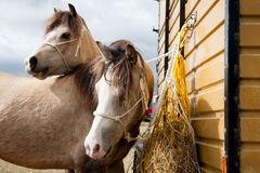 Dos dirigieron el caballo o dos potros idénticos. fotos de archivo