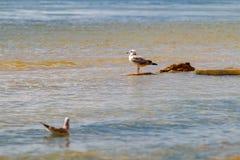 Dos dirigieron la gaviota Una situación en piedras flota en segundo lugar en la agua de mar foto de archivo libre de regalías
