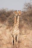 Dos dirigieron la jirafa imagen de archivo libre de regalías
