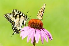 Dos diversas mariposas en un ascendente cercano del coneflower Imagen de archivo libre de regalías