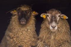 Dos diversas ovejas Imágenes de archivo libres de regalías