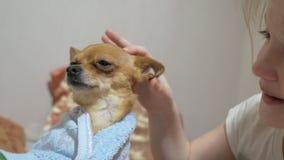 Dos diversos perros son muy divertidos secarse después de una ducha Toy Terrier de pelo largo y de pelo corto Re del ` tienen gus almacen de metraje de vídeo