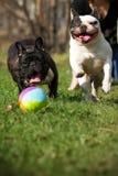 Dos dogos franceses de los perros felices que juegan la bola Foto de archivo
