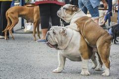 Dos dogos ingleses de las flores blancas y rojas, un adulto, otro perrito son que se levantan y de miradas foto de archivo libre de regalías