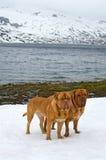 Dos Dogues De Bordeaux contra el glaciar, montañas del verano, Noruega Imagen de archivo libre de regalías