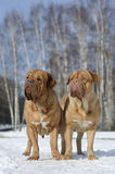 Dos Dogues De Bordeaux en parque del invierno Foto de archivo